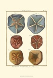 Sand Dollars I Print by Diderot 
