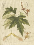 Antique White Maple Giclee Print by  Sprague