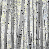 Aspen II Prints by Shelley Lake