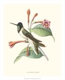 Hummingbird and Bloom IV Reproduction procédé giclée par  Mulsant