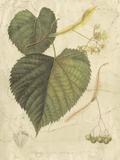 Antique American Linden Giclee Print by  Sprague
