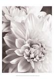 Black and White Dahlias II Affiche par Christine Zalewski