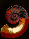 Nautilus Photographic Print