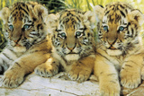 B&#233;b&#233;s tigres Affiches