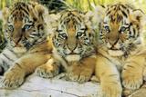 Cachorros de tigre Láminas
