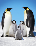 Penguins-Family Plakaty