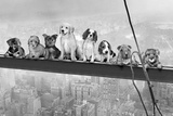 Dogs on Girder Pósters