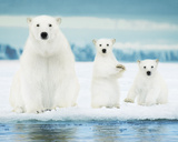 Polar Bears- Family Póster