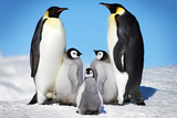Penguins-Family Láminas