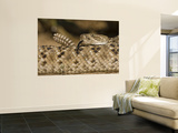 Diamondback Rattlesnake Coiled, Weaver Ranch, Texas, USA Print by Larry Ditto