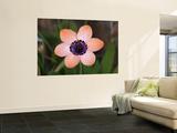 Pale Harlequin Flower (Sparaxis Elegans), Namaqualand Posters by Ariadne Van Zandbergen