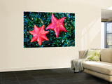 Bat Starfish at Low Tide Prints by Douglas Steakley