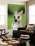 Young Kangaroo (Macropus Giganteus) at Pretty Beach Posters by Paul Kennedy