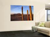 Golden Light on Organ Pipe Cactus, North of Puerto Penasco in Gran Desierto De Altar Prints by Feargus Cooney