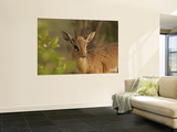 Dik-Dik Prints by Carol Polich