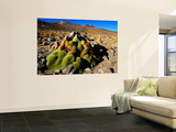 Llareta 14, Lauca National Park, Chile Print by Woods Wheatcroft
