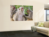 Macaques Monkeys (Rhesus Macaques) Grooming, Dhikala Prints by Grant Dixon