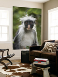 Young Zanzibar Colobus Monkey Prints by Douglas Steakley