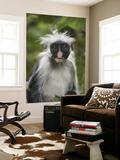 Young Zanzibar Colobus Monkey Prints by Douglas Steakley