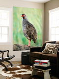 Red-Necked Spurfowl (Red-Necked Francolin) Prints by Ariadne Van Zandbergen