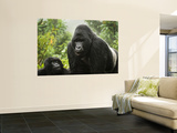 Silverback Agashya and Baby in Group 13 Gorilla Family Print by Douglas Steakley