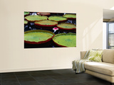 Giant Victoria Regia Water Lillies Posters by Olivier Cirendini