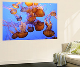 Jellyfish at the Monterey Bay Aquarium Poster von Douglas Steakley