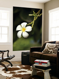 Frangipani Flower Detail Posters by April Maciborka