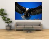 Bald Eagle (Haliaeetus Leucocephalus), USA Plakater af Mark Newman