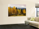 Autumn Yellow Aspens with Snowcapped Fjells in Background Plakater af Christer Fredriksson