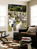 Alpacas on Farm Posters by Rachel Lewis