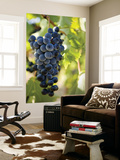 Wine Grapes Hanging from Vine Posters by Rachel Lewis