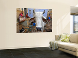 Cow on Street Inside Fort Walls Prints by Johnny Haglund