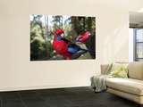 Rosella Birds at Barrington Tops Huts Prints by Shayne Hill