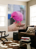 Pink Dyed Chick for Sale at Friday Market Prints by Craig Pershouse