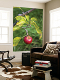 Apple Hanging from Orchard Tree, Huon Valley Art by Rachel Lewis