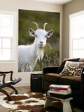Goat on Great Orme Posters by Neil Setchfield