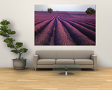 Lavender Field, Fragrant Flowers, Valensole, Provence, France Prints