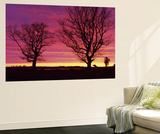 Oak Trees, Sunset, Sweden Posters