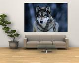 Szary wilk w Międzynarodowym Ośrodku Badań nad Wilkami w pobliżu Ely Plakat autor Joel Sartore