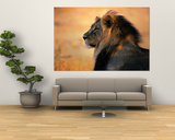 León africano macho adulto Láminas por Nicole Duplaix