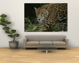 A Close View of a Captive Jaguar, Panthera Onca Poster by Tim Laman