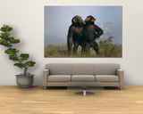 A Pair of Orphan Chimpanzees Prints by Michael Nichols