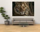 A Captive Tiger Shows a Formidable Expression - Art Print