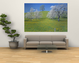 View of Blossoms on Cherry Trees, Zug, Switzerland Posters