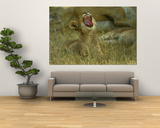 A Small Lion Cub Raises its Head into the Air and Yawns Poster by Beverly Joubert