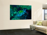 Sergeant Major Damselfish Prints by  Stocktrek Images