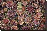 Succulents Stretched Canvas Print by David Winston
