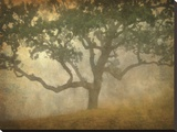 Oak in Fog Study 13 Stretched Canvas Print by William Guion