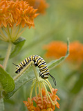 Butterfly Weed a Kind of Milkweed, Prairie, Jenson Lake Park, Eagan, Minnesota, Usa Photographic Print by Rob Sheppard